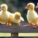 ducky11