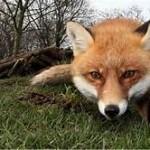 fox717