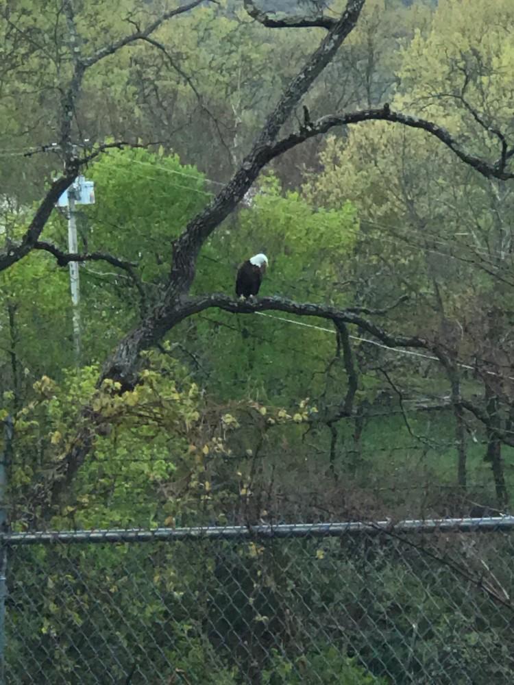 Bald eagle  by firestar