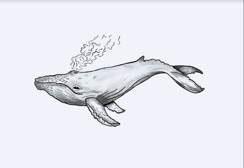 Whale drawing on procreate by Nature-nerd