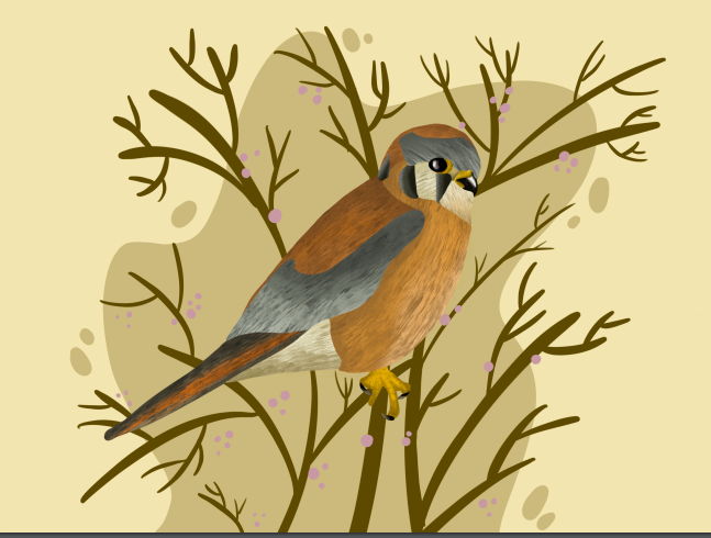 main-image-American Kestral drawing uploaded by Nature-nerd